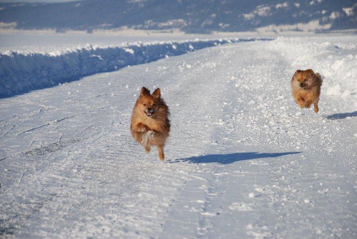 På skøyter på Mjøsisen, med overlykkelige hunder på slep!