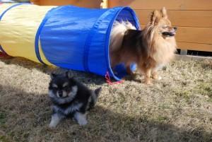 Hun så kanskje ikke ut som noen agilitystjerne med en gang, men gode gamle Max lærte henne hvordan det skal gjøres ;)