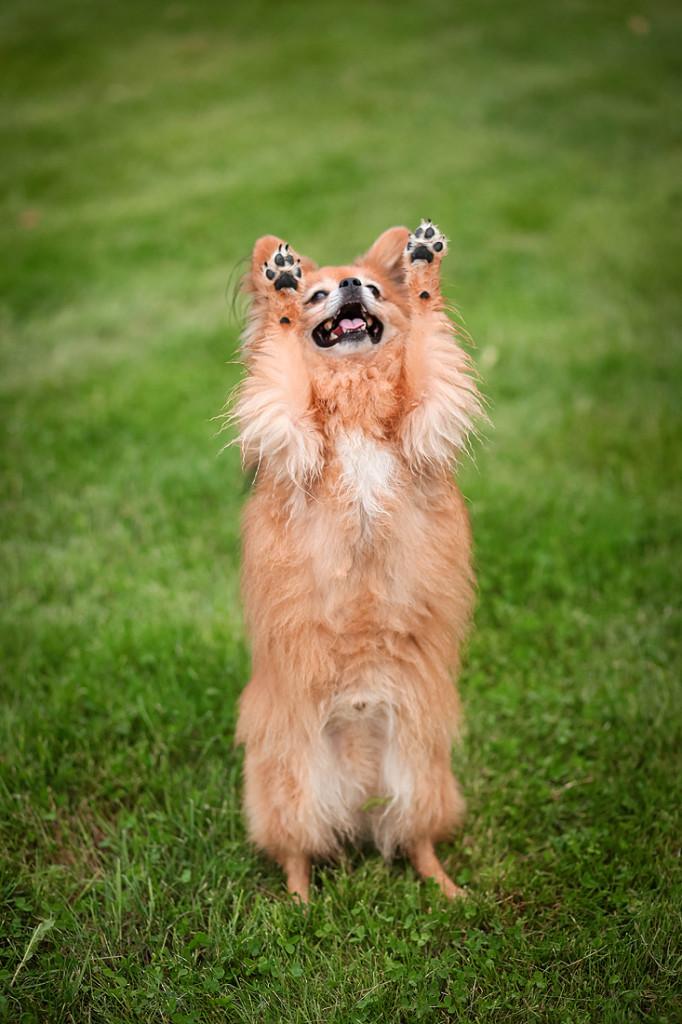 Max jubler i alle fall - han får gå mer agility enn planlagt framover ;) Foto: Maja Rokavec,