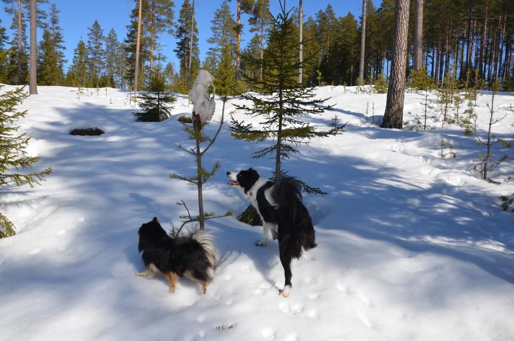 Elgehoder på trær - helt normalt i Ringsaker :) Jess var skuffet over at hun ikke fikk ta det med hjem.