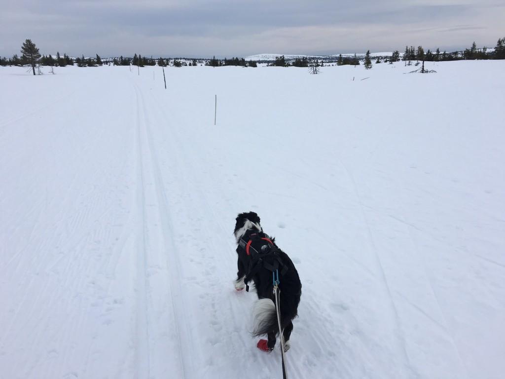 Jess har lært seg å gå på høyre side av sporet. Hun passerer både skiløpere og hunder uten problemer - flink hund! Her på veg mot Melsjøen, for å slippe den verste påsketrafikken i løypa.