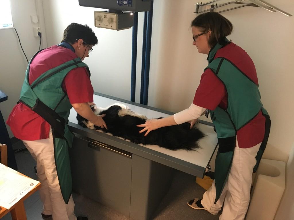Albuer og hofter er sjekket hos Ringsaker dyreklinikk - nå venter vi spent på resultatene!
