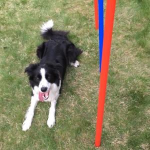 Jess er 18 måneder og gammel nok til å stille i agilitykonkurranser.