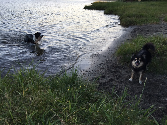 Det beste i livet er å bade, mener Jess. To glade hunder fikk en velfortjent dupp i Mjøsa før vi dro hjem.