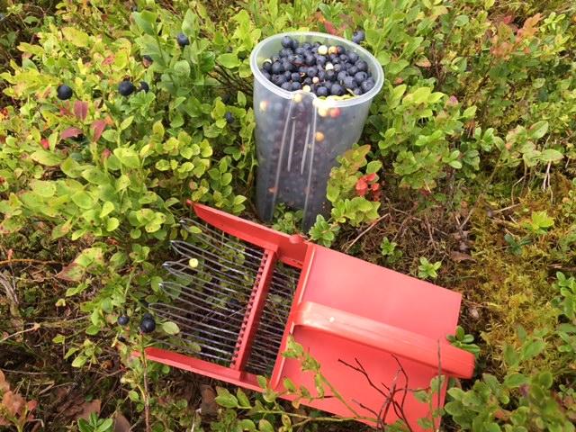 Både vi og hundene fikk plukket mye bær.